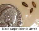 Carpet_beetles_larvae