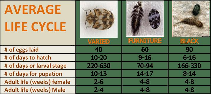 Carpet beetles life cycle - photo#6