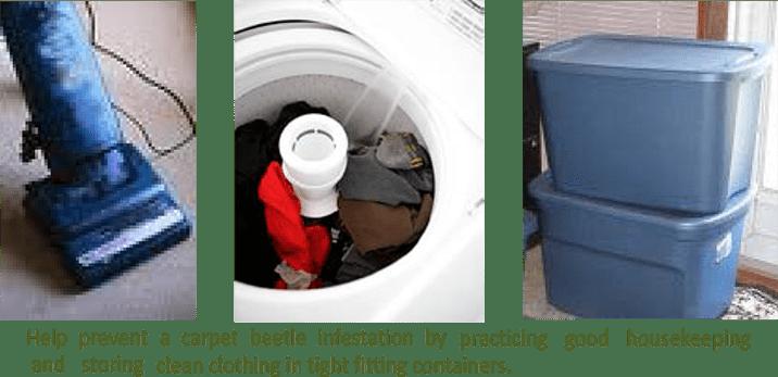 Carpet_beetles_prevention