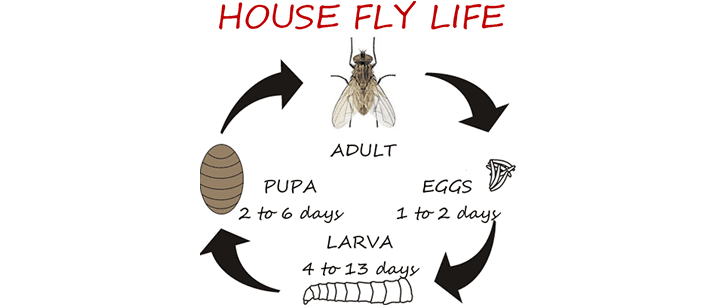 Flies_house_fly_life