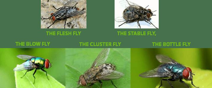 flies_blow_info