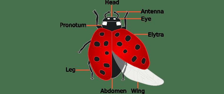 ladybug anatomy
