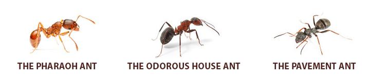 pharoah_ants_info